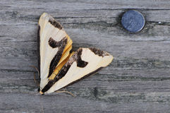 Clymene Haploa Moth Stock Image