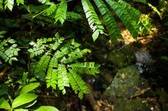 Clypearia di Archidendron Immagine Stock Libera da Diritti