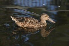 Clypeata d'ana de canard souchet du nord Photographie stock libre de droits