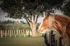 Clysdale-Pferd, das über Zaun schaut Lizenzfreie Stockfotografie