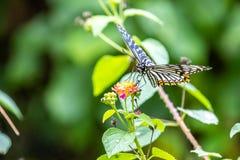 Clytia comune di Chilasa del mimo fotografia stock libera da diritti