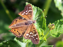 Clyton de Tawny Emperor Butterfly - d'Asterocampa Photographie stock