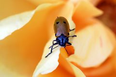 Clytra Laeviuscula op Rose Flower stock foto