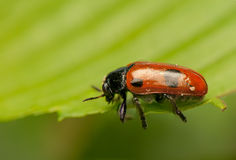 Clytra laeviuscula. Small beetle with a red abdomen Royalty Free Stock Images