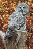 Great grey owl on a stump in front of trees with orange Autum leaves royalty free stock photo