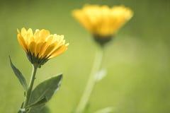 Cmarigold kwitnie (żółty kwiat) Obraz Stock