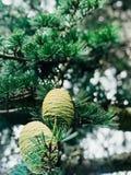 Cmentarniane sosny zdjęcia stock