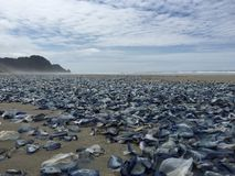 Cnidaria on the Beach Stock Image