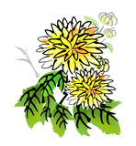 Cny Chrysanthemum Stock Photography