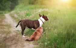 Собака бультерьер и кошка / Dog bullterrier and cat. Собака бультерьер и кошка.  Royalty Free Stock Images