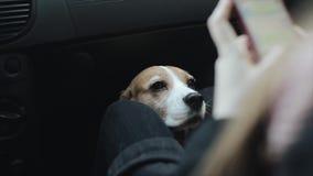 Собака в автомобиле кладя его главную женщину на ее колени Хозяйка собаки используя мобильный телефон акции видеоматериалы