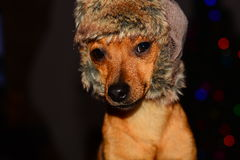 The dog in the hat Stock Photography