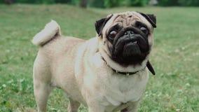 Собака в поле, парк, мопс сток-видео