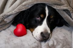 Собака горы Bernese лежит на кровати с головой покрытой с бежевой шотландкой около красного сердца Концепция любов, преданности,  стоковые изображения rf