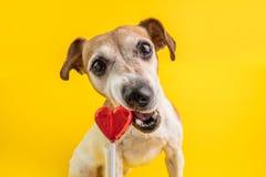 Собака сладкого зуба с аппетитом и удовольствием есть конфету сторона собаки леденца на палочке грызть смешная Желтая предпосылка стоковые фотографии rf