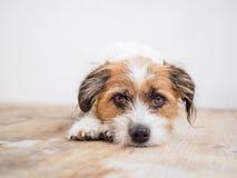 Собака смотря камеру лежа на деревянном поле стоковое фото rf