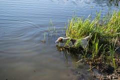 Собака терьера Джек Рассела играя в воде, лете, озере стоковое изображение