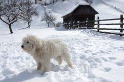Собака чабана Mioritic стоковое фото rf