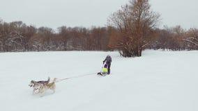 Собаки скелетона породы осиплые в зиме Северные осиплые собаки едущ на собаках, концепция развлечений сток-видео