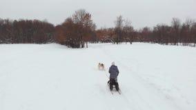 Собаки скелетона породы осиплые в зиме Северные осиплые собаки едущ на собаках, концепция развлечений акции видеоматериалы