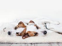 Собаки спать на поле стоковое изображение rf