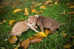 Собаки щенка младенца играя с сердитым стоковые фото