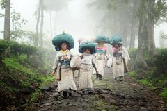 Собрание чая комплектуя фермеров в Индонезии стоковое фото rf