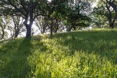 Солнечный свет утра за голубым дубом бросает тень через злаковик держателя Ванда стоковые фотографии rf