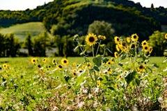 Солнцецветы в Monferrato Италии стоковые фото