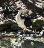 Солома-necked Ibis, spinicollis Threskiornis в зоопарке стоковые фотографии rf