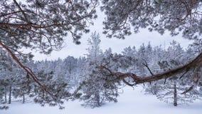 Сосны зимы стоковая фотография