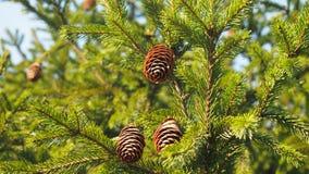 сосновые шишки. Coniferous tree with pine cones about autumn park Stock Image