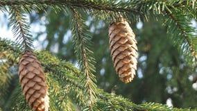 сосновые шишки. Coniferous tree with pine cones about autumn park Stock Photo
