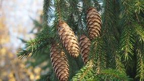 сосновые шишки. Coniferous tree with pine cones about autumn park Royalty Free Stock Photos