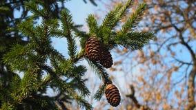 сосновые шишки. Coniferous tree with pine cones about autumn park Royalty Free Stock Images