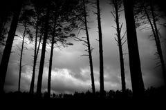 Сосновый лес ночью. Pine forest at night. Stock Photo