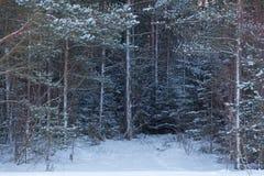 Сосновый лес зимы стоковые фотографии rf