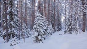 Сосновый лес зимы стоковые изображения rf