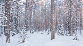 Сосновый лес зимы стоковые фото
