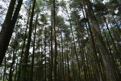 Сосновый лес на ungaran держателя стоковые изображения