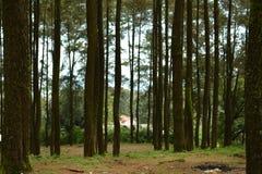 Сосновый лес на ungaran держателя стоковое изображение