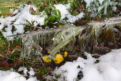 Сосульки на траве. Grass and twigs were frozen and covered with ice Royalty Free Stock Image