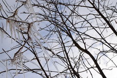 Сосульки. Icicles on the branches of a tree against the sky Stock Photos