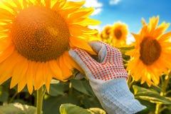 Сохранность урожая солнцецвета стоковая фотография