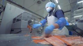 Сортировать процесс свежих хоботов семг Фабрика рыб видеоматериал