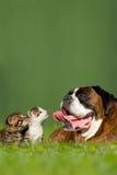 Cão alemão do pugilista com os dois gatinhos pequenos Fotografia de Stock Royalty Free