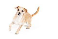 Cão ativo de Terrier que corre no fundo branco Fotos de Stock Royalty Free