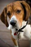 Cão bonito do lebreiro Imagens de Stock