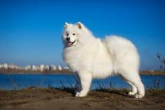Cão bonito do samoyed Imagens de Stock