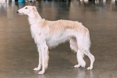 Cão caçador de lobos branco do borzói do russo do cão Fotos de Stock Royalty Free